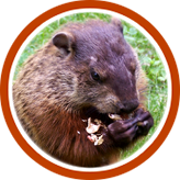 Groundhog Removal