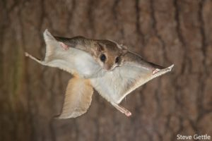 Flying Squirrel in Air